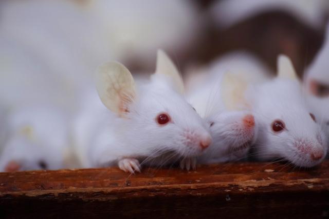 ネズミの好物はチーズなのか?真実を知って駆除に役立つ情報サイト