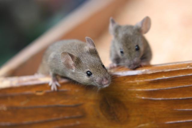 天井裏にネズミがいるみたい…!本当にネズミなのか分かる方法とは