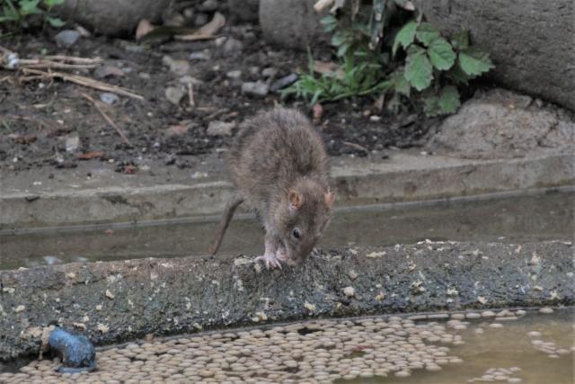 ドブネズミの生態をもっと詳しく!