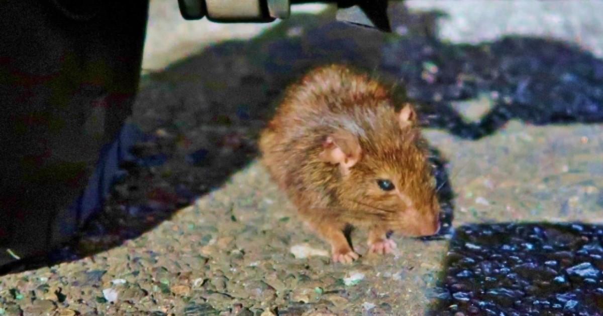 ネズミ被害の約9割はクマネズミ!生態や駆除・対策の方法をご紹介