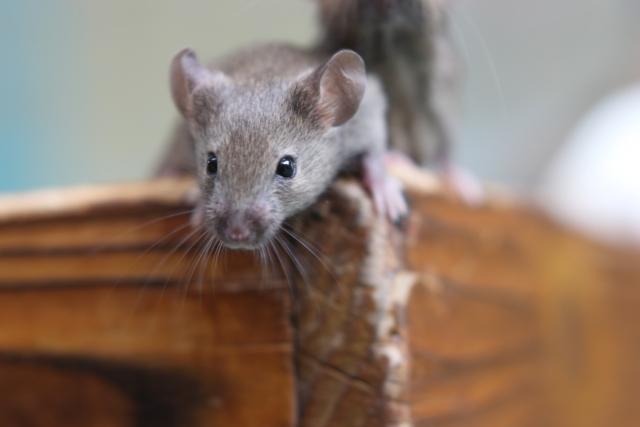 ハツカネズミの駆除は早めが肝心!効果的な対策方法と予防策を解説