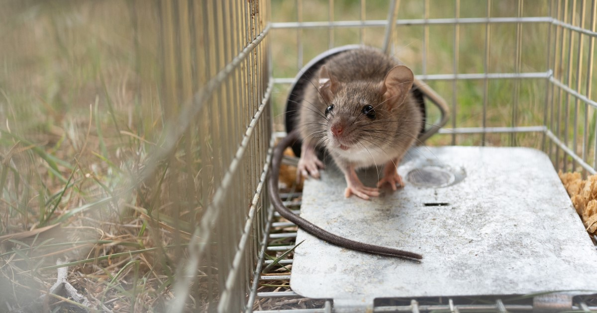 殺鼠剤を使ってネズミを駆除する方法|駆除できないときはプロに依頼