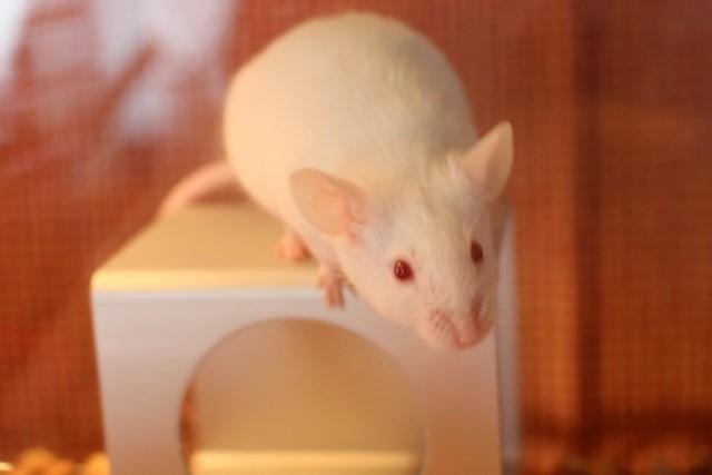 家ネズミの仲間「ドブネズミ」「ハツカネズミ」との違いは?