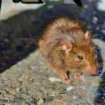 クマネズミの駆除は難しい!効果的な退治方法と侵入させない対策